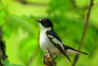 ScFlycatcher_Mladen Vasilev_featured