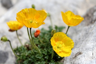 Papaver degenii