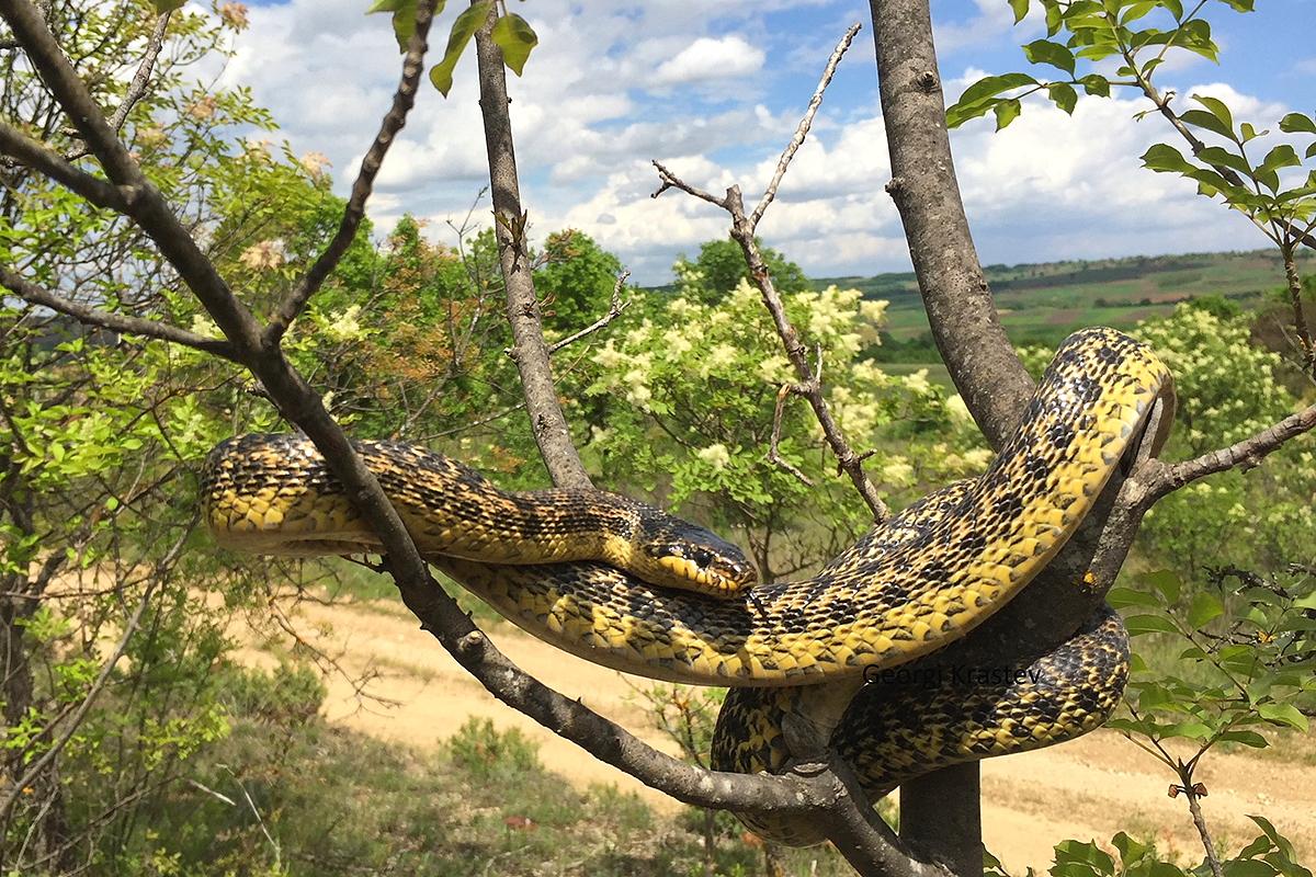 Blotched Snake by Georgi Krastev