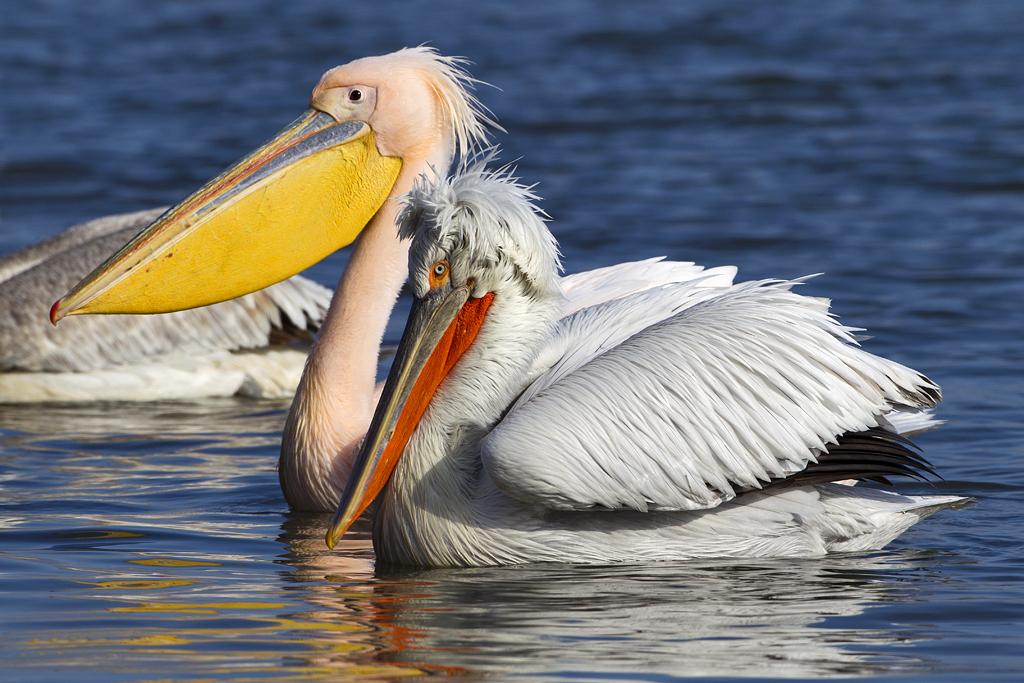 Dalmatian Pelican & Great White Pelican by Johan Oli Hilmarsson