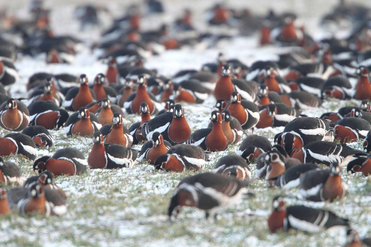 Red-breasted Geese by Mladen Vasilev