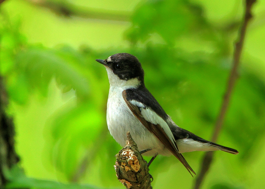 Semi-collared Flycatcher by Mladen Vasilev