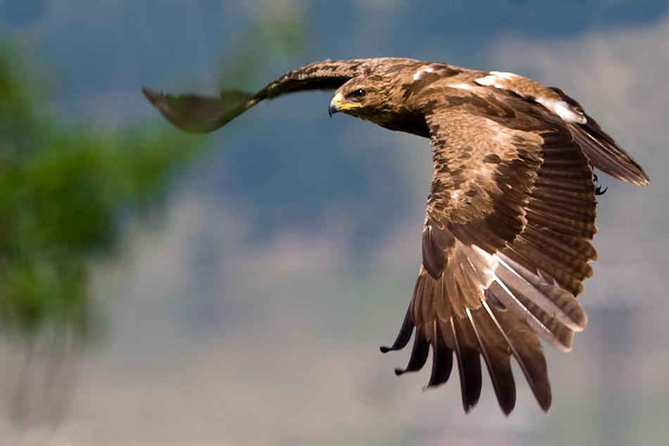 Lesser Spotted Eagle by Mladen Vasilev