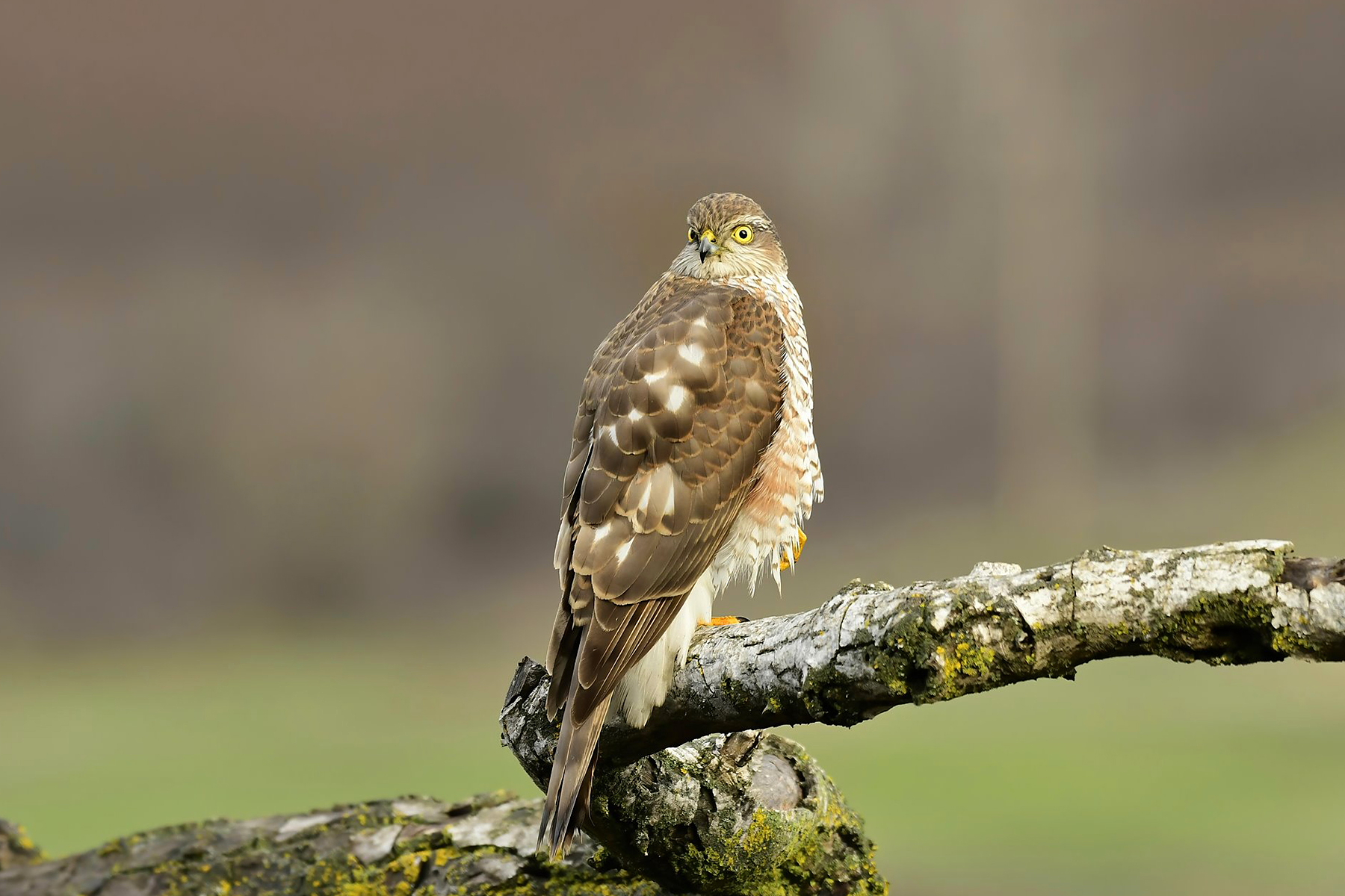 Eurasian Sparrowhawk by Terry Ayling